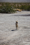 Coyote im Death Valley